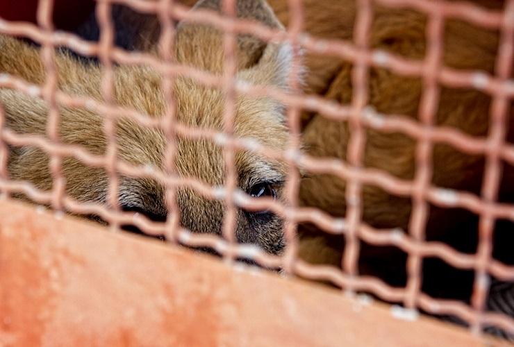 Lobo Guará é capturado no bairro Jardim Arizona
