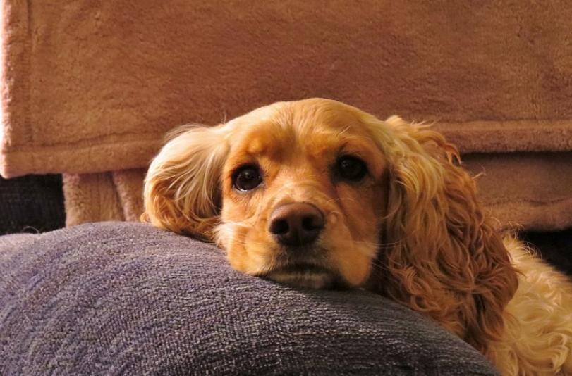 Como tranquilizar os cães com fobia de fogos de artifício