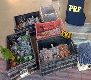 Homem é preso com 200 pássaros silvestres em Sete Lagoas